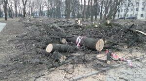 Okres lęgowy nie uchronił drzew. Wycinka na skwerze przy bibliotece