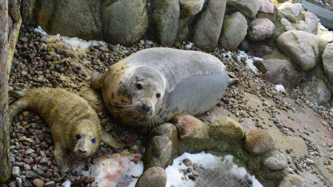 Na Helu narodziły się szczenięta fok. Witamy na świecie!
