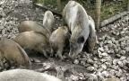 Tomasz Zdrojewski o rozprzestrzenianiu się epidemii afrykańskiego pomoru świń